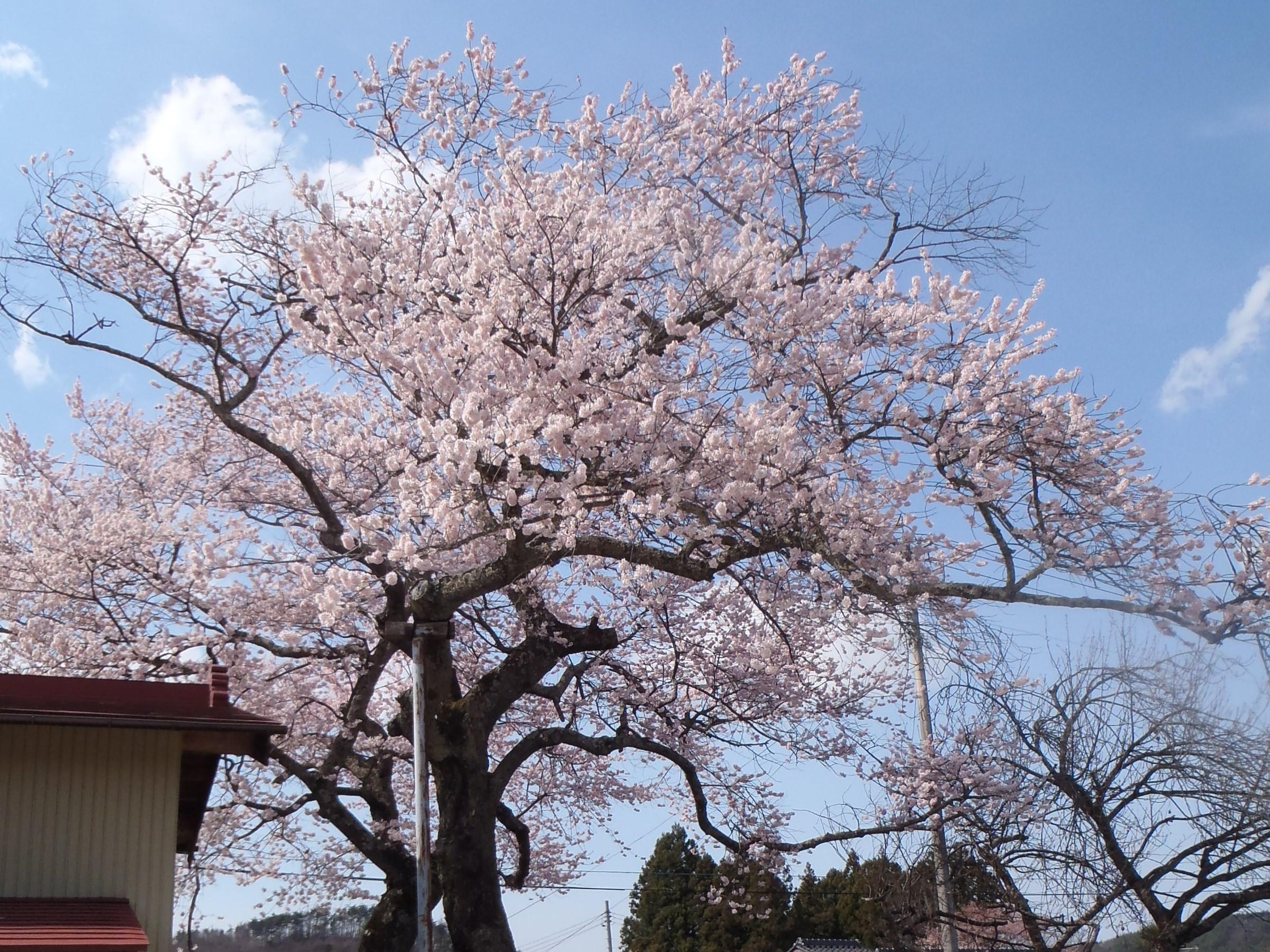 西郷の夫婦桜の画像