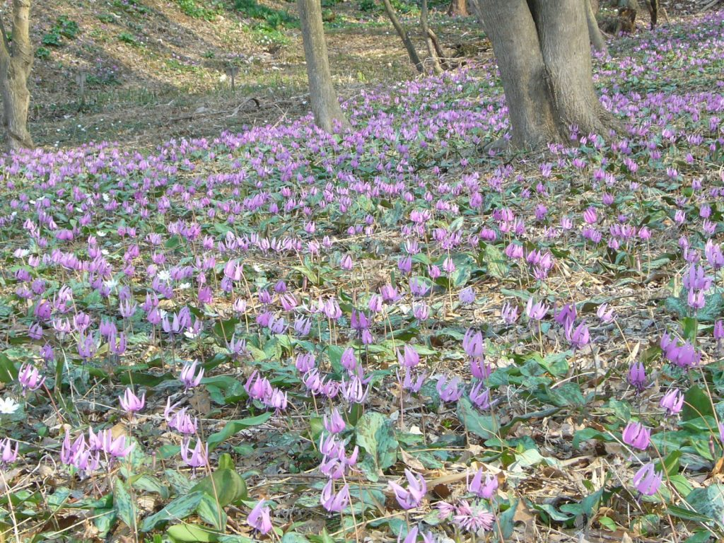 カタクリの花の写真