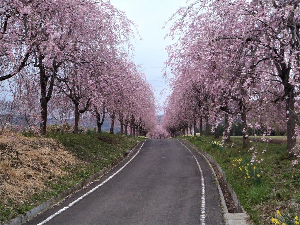 右輪台の桜の写真