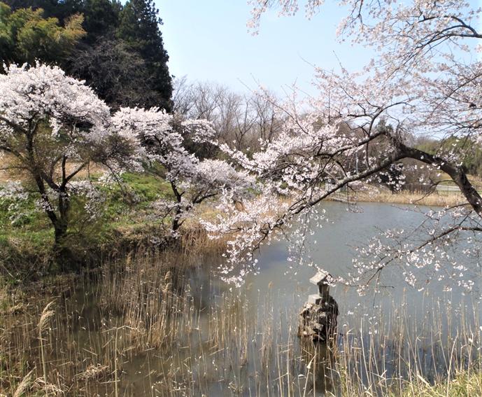弥惣治沼の桜の写真