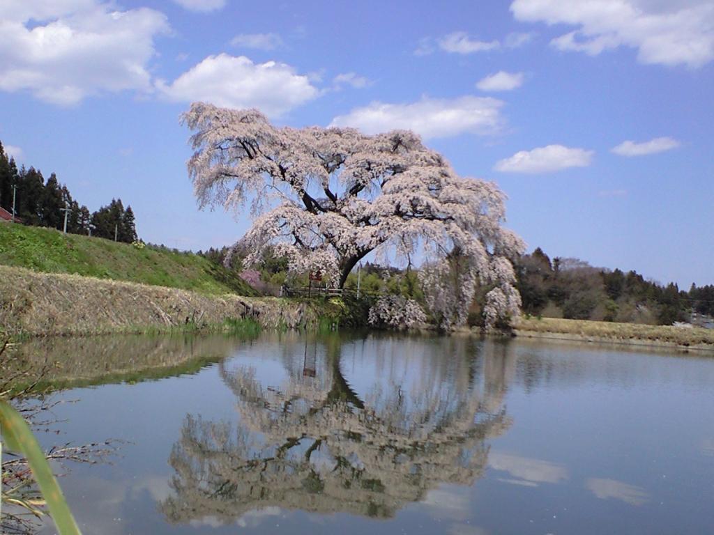 芳水の桜の写真